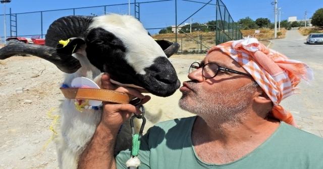 Çeşmede Sakız Koyun Ve Koçlarının En Güzelleri Seçildi