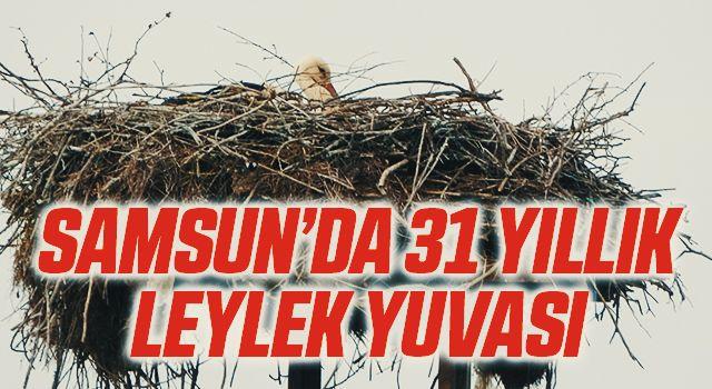 Samsun'da elektrik direğinde 31 yıllık leylek yuvası