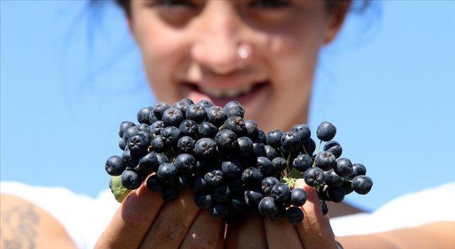 Aronya meyvesi tarımda yeni alanlara yatırım yapmak isteyenlere fırsat yarattı