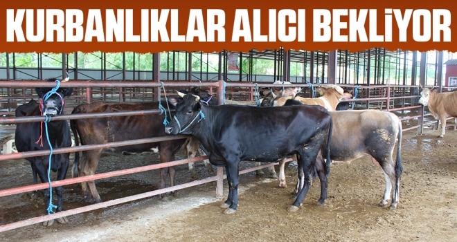 Samsun'da Kurbanlıklar Alıcı Bekliyor