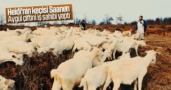 Heidi'nin keçisi Saanen Aygül çiftini iş sahibi yaptı