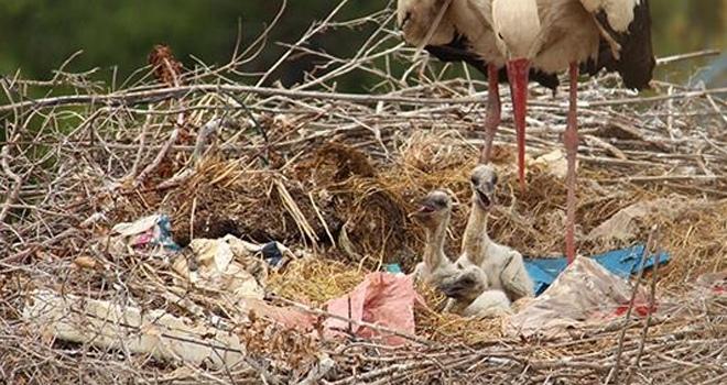 Aç kalan leylek yavruları koruma altına alındı