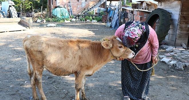 Samsun'da Çalınan büyükbaş hayvanlarına kavuşan vatandaşların sevinci