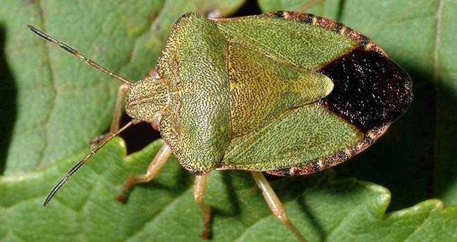 Yeşil Kokarca'ya dikkat!